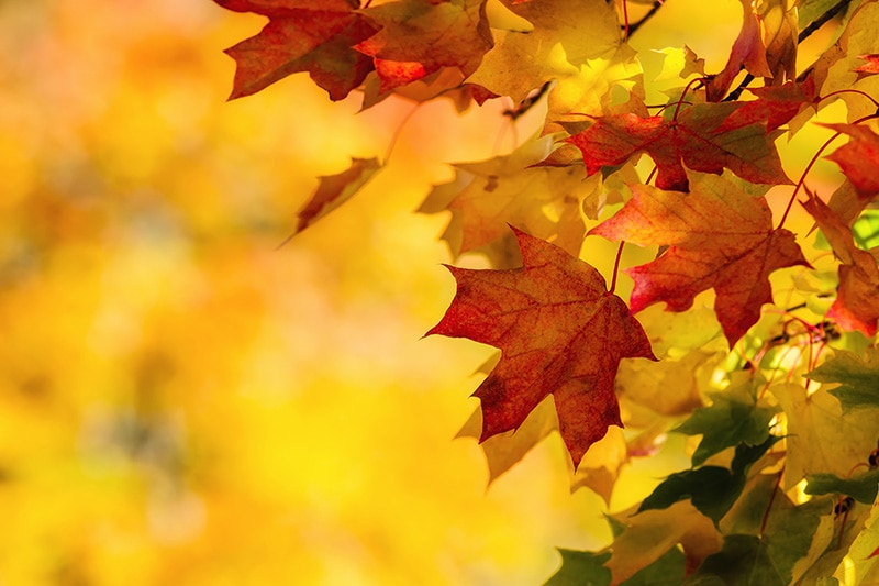 Close up of maple leaves in the autumn, Fall HVAC Maintenance | Furnaces, Heat Pumps | Santa Clara, CA