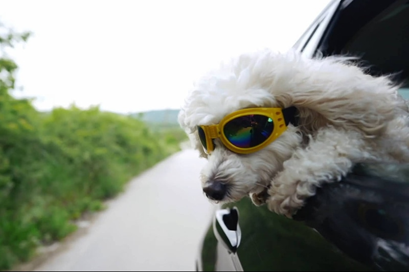 dog with glasses on in car window